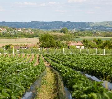 CSR / Uspešna prva berba jagoda u 'Smart Berries' projektu